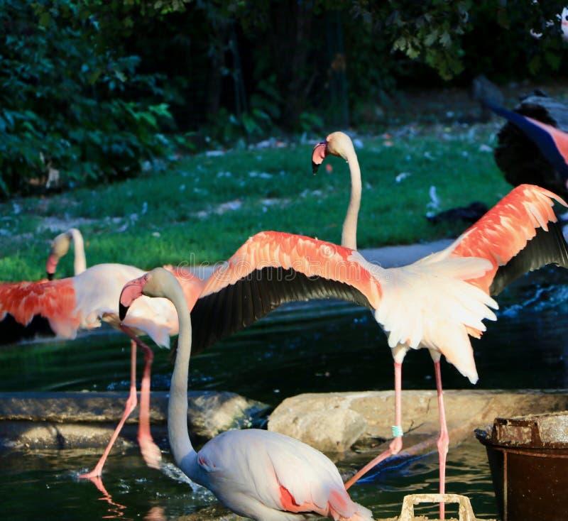 Um rebanho de flamingos cor-de-rosa no lago no verão fotografia de stock royalty free