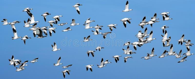 Um rebanho de gansos de neve imagens de stock royalty free