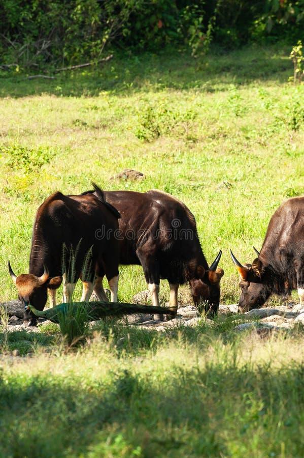 Um rebanho de Gaur novo e de uma alimenta??o entre a ?ndia e a China do Peafowl verde de ?gua doce no campo Huai Kha Kaeng Wildli imagem de stock