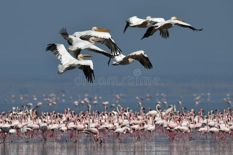 Um rebanho de grandes pelicanos brancos voa sobre a colônia de poucos flamingos Nome científico: Onocrotalus do Pelecanus Lago Na imagem de stock