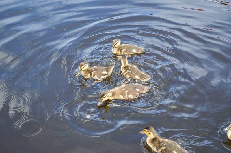 Um rebanho de muitos pássaros de água selvagens bonitos dos patos com os patinhos dos pintainhos com bico a imagens de stock