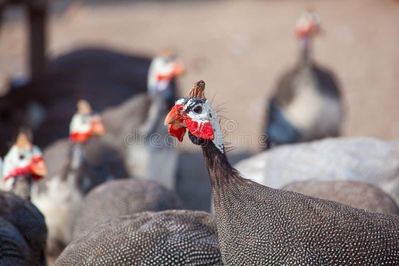 Um rebanho de pássaros adultos - a tarde do guineafowl anda em um pasto no aviário na exploração agrícola foto de stock royalty free