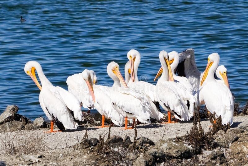 Um rebanho de pelicanos brancos americanos, fuga da baía de Sunnyvale, área de San Francisco Bay sul, Califórnia foto de stock royalty free