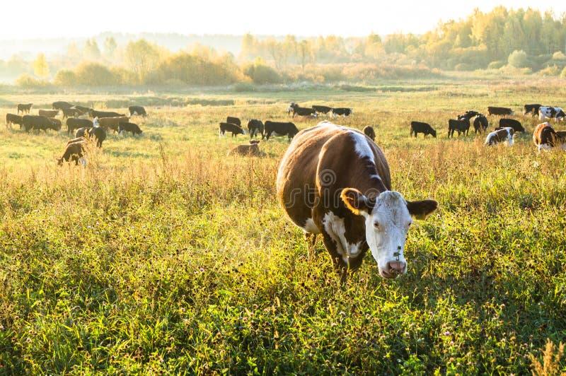 Um rebanho de vacas marrons no alvorecer imagem de stock
