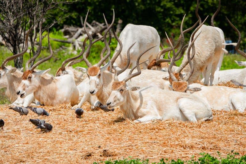 Um rebanho do addax branco bonito dos antílopes que descansa no prado e que come a grama imagens de stock