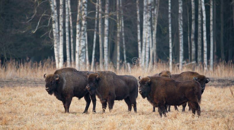 Um rebanho do Aurochs europeu que pasta em The Field Quatro grande Brown foto de stock