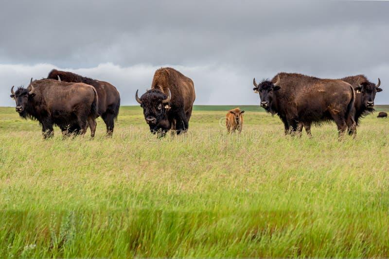 Um rebanho do bisonte das planícies com vitela do bebê em um pasto em Saskatchewan, Canadá foto de stock royalty free