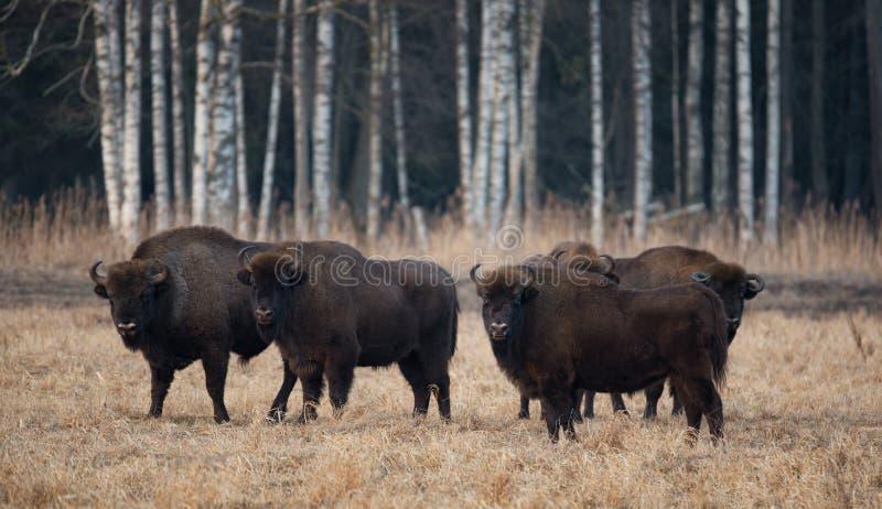 Um rebanho do europeu Bison Grazing On The Field Bonasus do bisonte do Aurochs de cinco grande Brown no vidoeiro Forest Backgroun imagens de stock royalty free