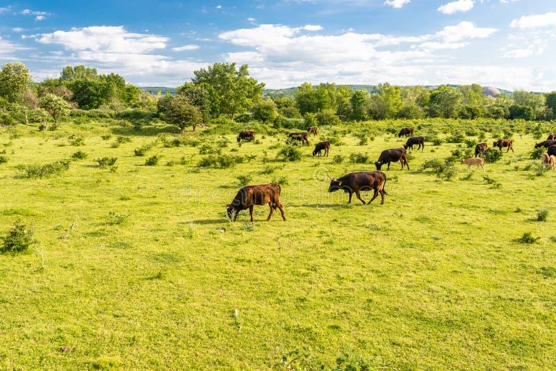 Um rebanho do gado pedaços, pastando em um esclarecimento em um dia ensolarado da mola em República Federal da Alemanha imagem de stock