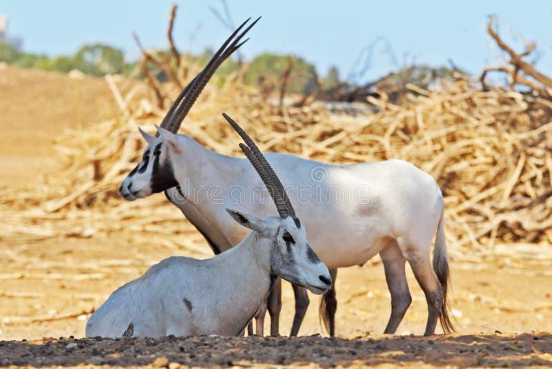 Um rebanho do Oryx branco do Arabian das cabras selvagens fotos de stock