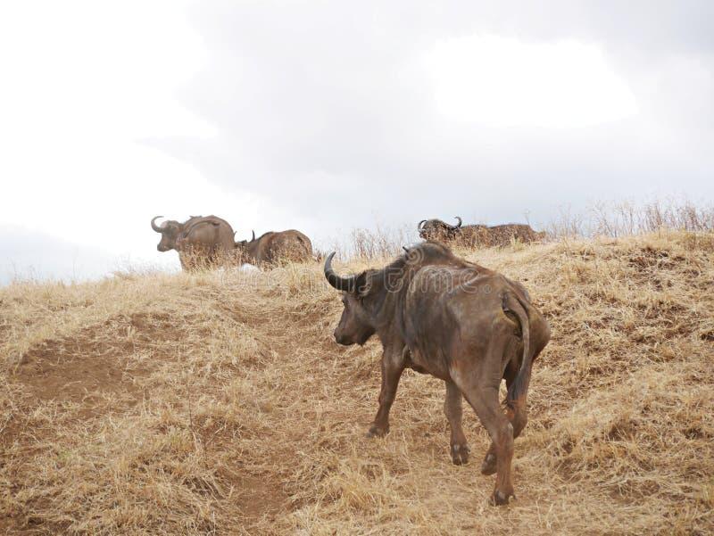 Um rebanho dos búfalos no safari em Tarangiri-Ngorongor foto de stock royalty free