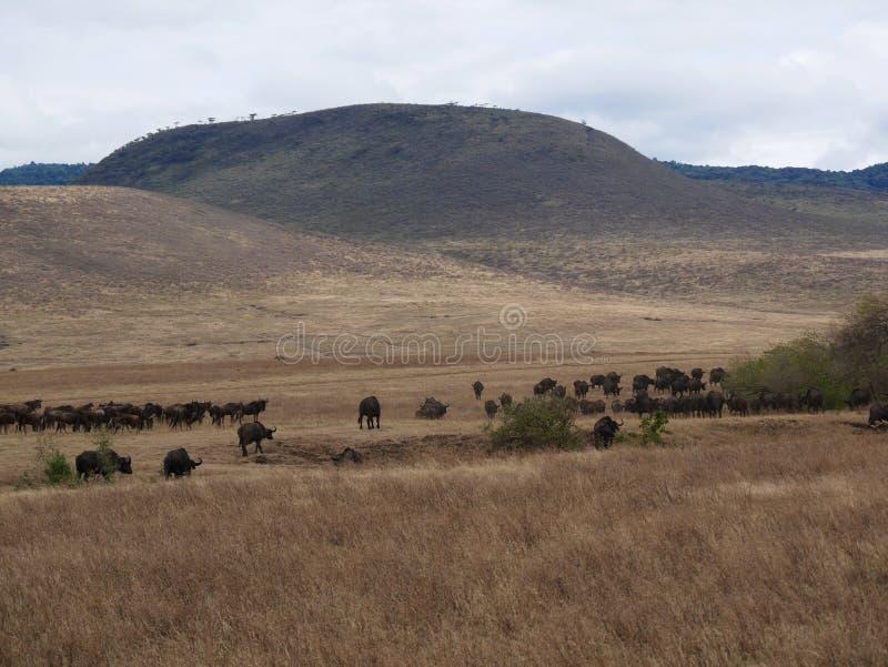 Um rebanho dos búfalos no safari em Tarangiri-Ngorongor fotos de stock