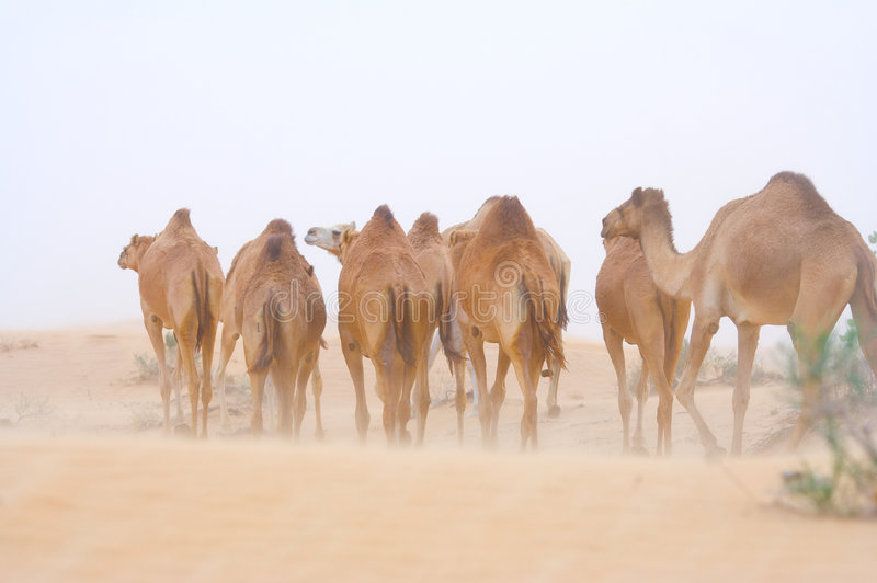 Um rebanho dos camelos fotografia de stock