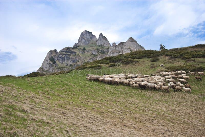 Um rebanho dos carneiros imagens de stock
