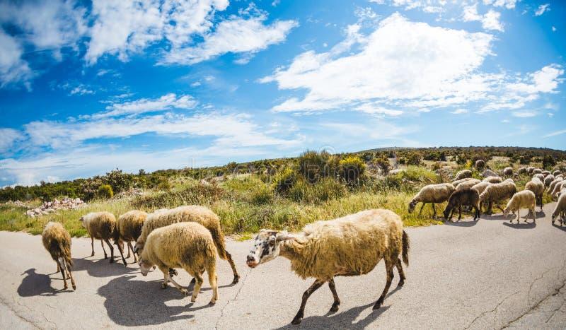 Um rebanho dos carneiros está andando ao longo da estrada imagens de stock royalty free