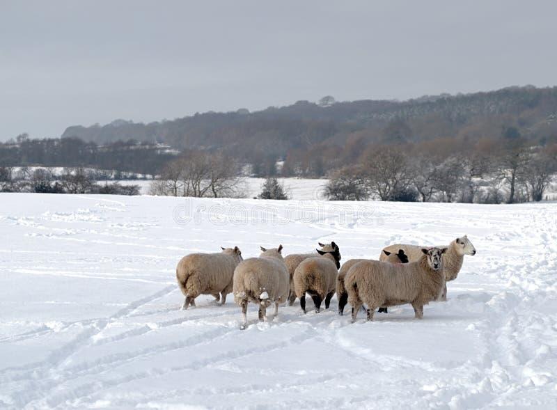Um rebanho dos carneiros na neve fotos de stock