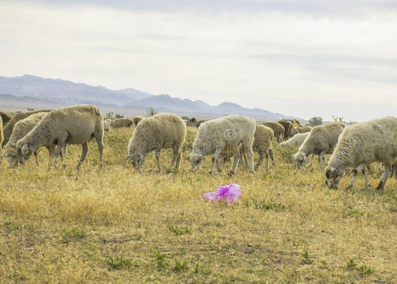 Um rebanho dos carneiros pasta no prado no ar livre Lixo no pasto para animais Os carneiros comem a grama e os sacos de plástico  foto de stock