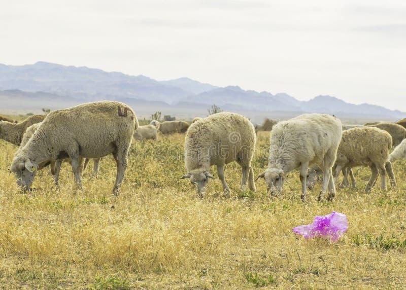 Um rebanho dos carneiros pasta no prado no ar livre Lixo no pasto para animais Os carneiros comem a grama e os sacos de plástico  imagens de stock