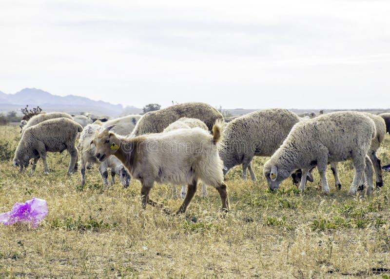 Um rebanho dos carneiros pasta no prado no ar livre Lixo no pasto para animais Os carneiros comem a grama e os sacos de plástico  imagem de stock royalty free