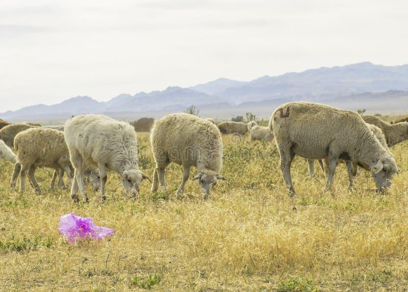 Um rebanho dos carneiros pasta no prado no ar livre Lixo no pasto para animais Os carneiros comem a grama e os sacos de plástico  fotografia de stock royalty free