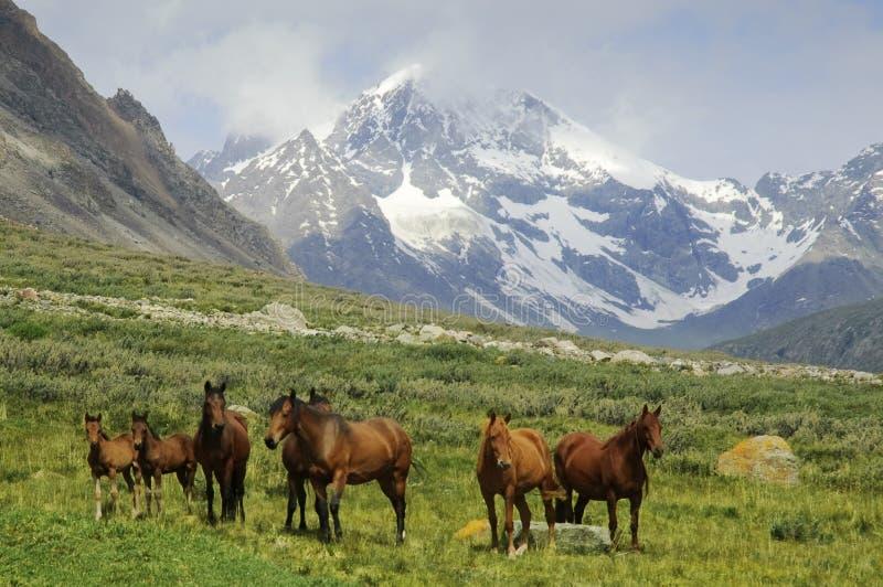 Um rebanho dos cavalos em um prado da montanha. fotografia de stock royalty free