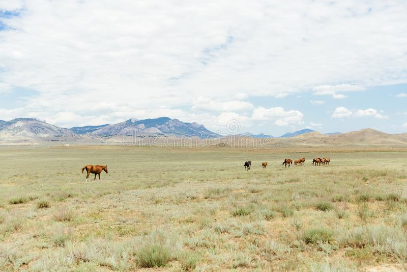 Um rebanho dos cavalos marrons novos que correm através do campo verão, fora foto de stock royalty free