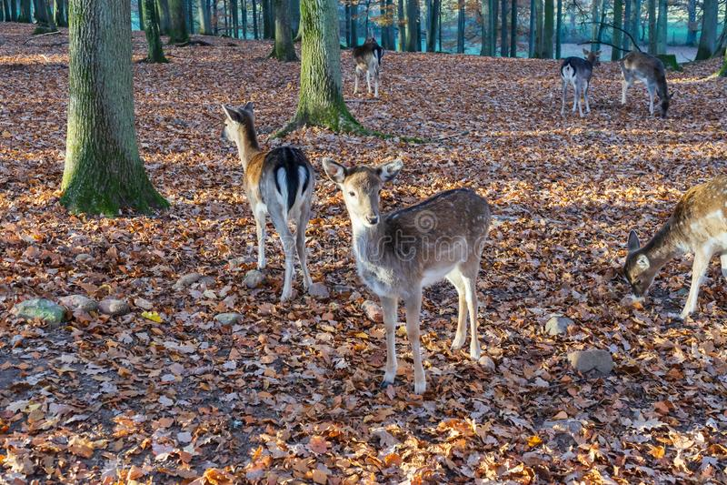 Um rebanho dos cervos na floresta outonal fotos de stock