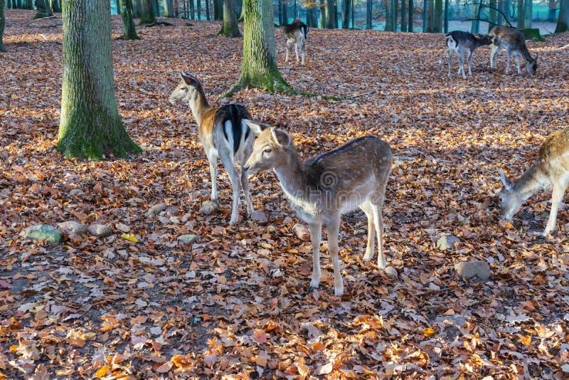 Um rebanho dos cervos na floresta outonal foto de stock