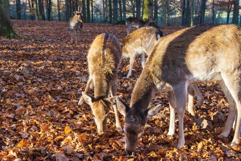 Um rebanho dos cervos na floresta outonal fotos de stock royalty free