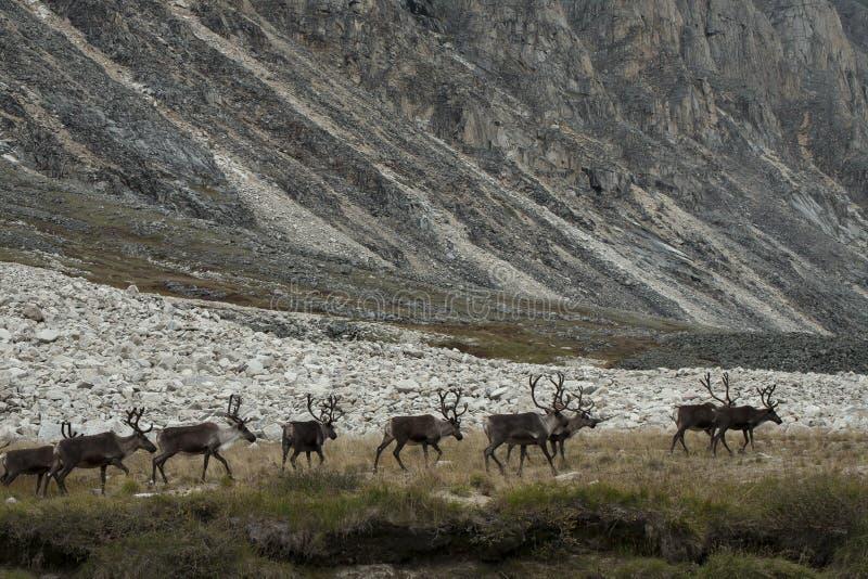 Um rebanho dos cervos que andam no lago imagem de stock royalty free