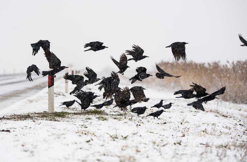 Um rebanho dos corvos que voam acima dos campos congelados foto de stock