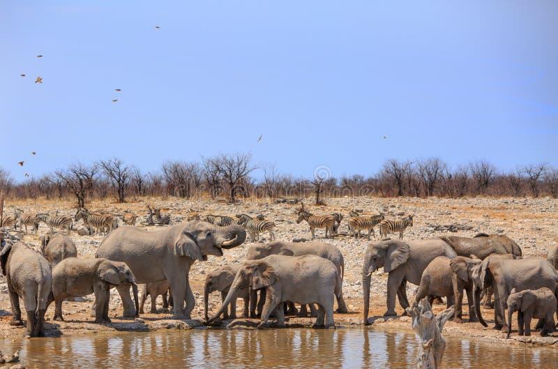Um rebanho dos elefantes e das zebras ao lado de um waterhole imagens de stock royalty free