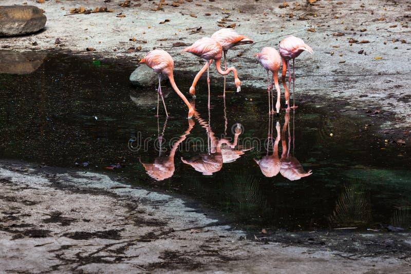 Um rebanho dos flamingos imagem de stock