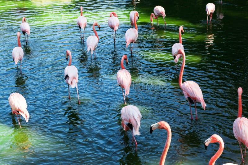 Um rebanho dos flamingos fotografia de stock