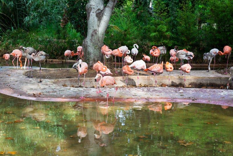 Um rebanho dos flamingos imagens de stock royalty free