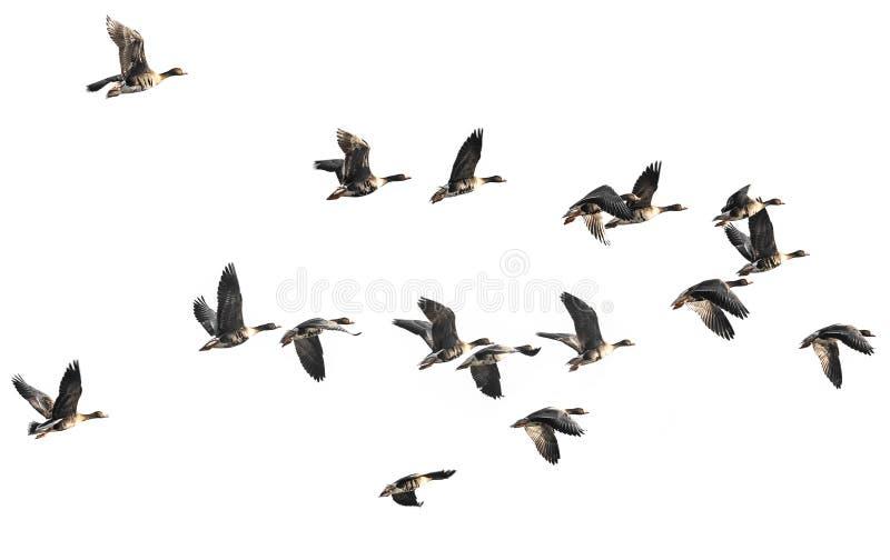 Um rebanho dos gansos fotografia de stock