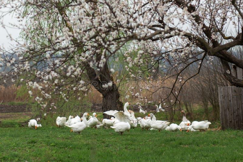 Um rebanho dos gansos brancos anda na primavera na vila no gramado com grama verde fresca na perspectiva de uma floresc?ncia fotografia de stock royalty free