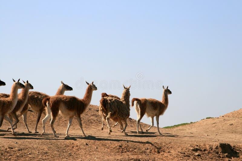 Um rebanho dos lamas (Guanaco) foto de stock royalty free