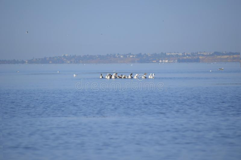 Um rebanho dos patos ducky que nadam no rio fotografia de stock royalty free