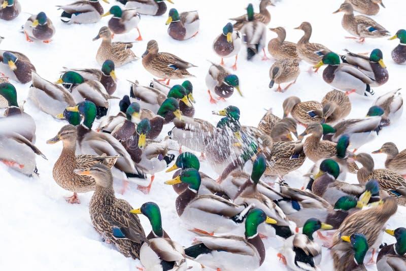 Um rebanho dos patos na neve imagens de stock royalty free