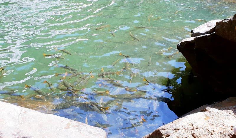 Um rebanho dos peixes nada na parte inferior do mar imagens de stock royalty free