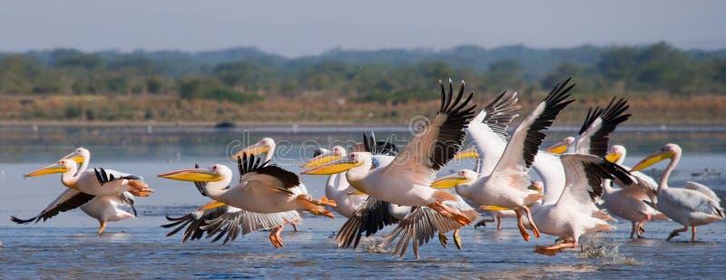 Um rebanho dos pelicanos que descolam da água Lago Nakuru kenya África imagem de stock