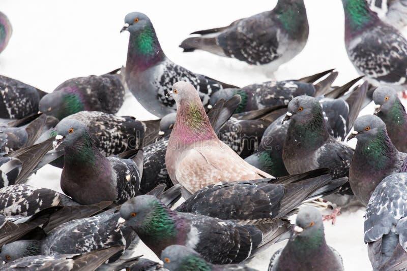 Um rebanho dos pombos na cidade estaciona na neve Dia de inverno foto de stock royalty free