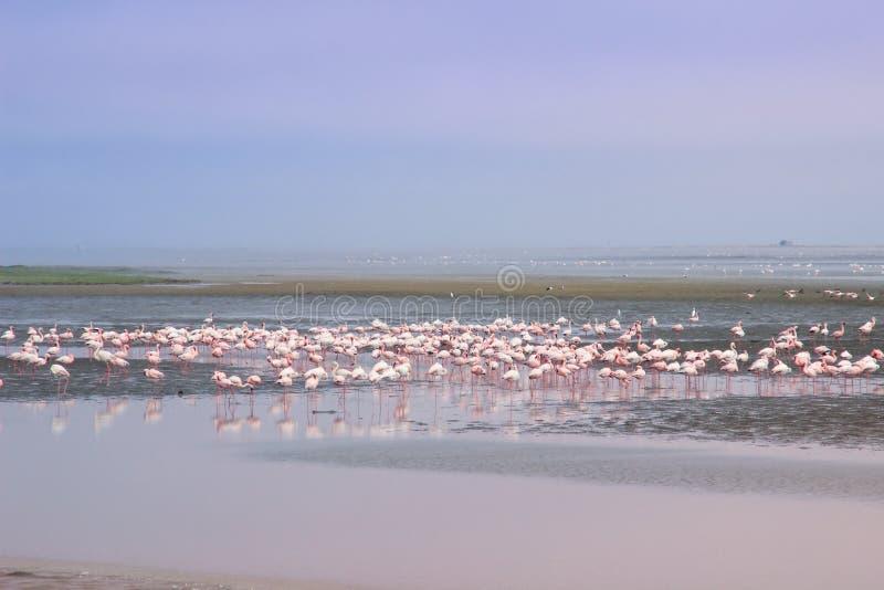 Um rebanho enorme dos flamingos cor-de-rosa elegantes que procuram moluscos nas águas frias do Oceano Atlântico fotografia de stock royalty free