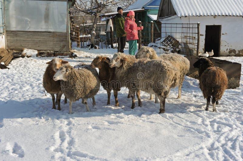 Um rebanho pequeno dos carneiros no agregado familiar de uma família rural fotos de stock