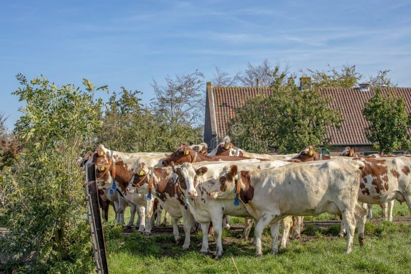 Um rebanho vermelho e vacas adultas brancas que esperam atrás de uma cerca, com o colar do pescoço, confortável junto imagens de stock royalty free