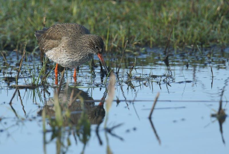 Um Redshank bonito, totanus do Tringa, vadeando na caça da água para o alimento em um prado inundado fotografia de stock royalty free