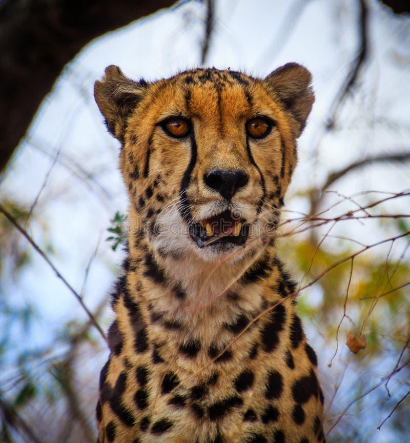 Um rei Cheetah fotos de stock royalty free