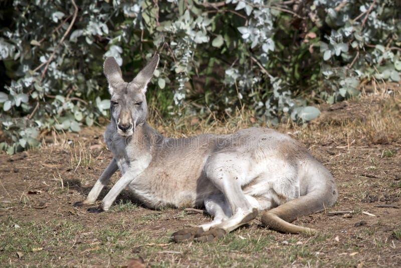 Um resto vermelho do canguru imagem de stock royalty free