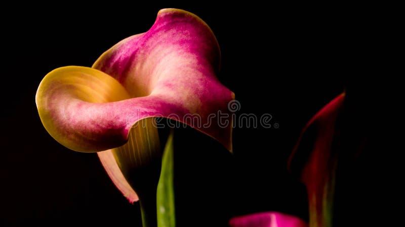 Um retrato bonito, discreto de l?rios de calla roxos e amarelos imagens de stock